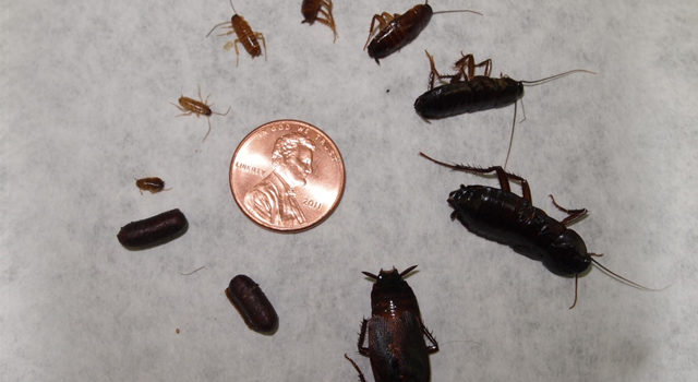 How To Get Rid Of Baby Roaches In Kitchen Cabinets